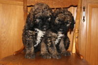Saint Berdoodle puppies ready just in time for Christmas!