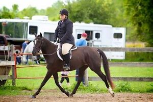 6 year old morgan x standardbred mare for sale