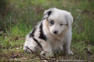 Pedigree registered Border Collie pups (with papers) Picton Wollondilly Area Preview