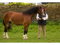 Welsh Section D Mare Show Pony