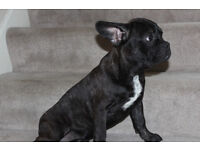 Gorgeous French Bulldog (female)