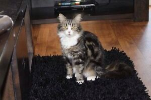 Hunter Valley Cat Haven-Rescued cat Kurri Kurri Cessnock Area Preview