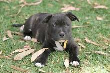 purebred papered staffordshire bull terrier pup McKail Albany Area Preview