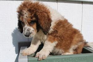 Saint Berdoodle puppies ready for adoption! Kitchener / Waterloo Kitchener Area image 10