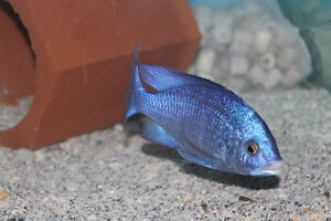 CICHLIDS RITE TO YOUR DOORSTEP!! RAINBOW CICHLIDS !!!