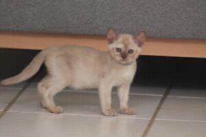 Burmese Kittens - lots of colours!
