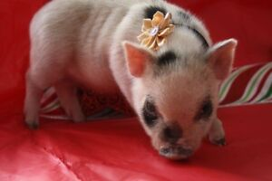 Mini pigs available from Canada's leading breeder!