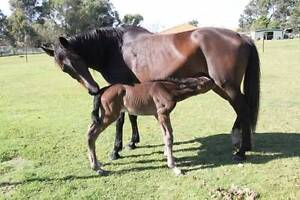 Wb broodmare Tambellup Pallinup Area Preview