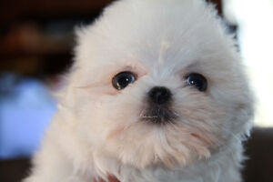 Gorgeous MALTESE Puppies