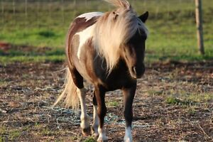 Amha Reg mare for sale