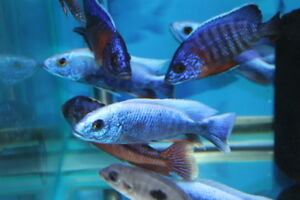 African Cichlids,Wild caught & Tank raised & Predator Haps...