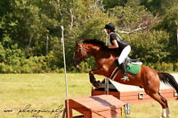 Thoroughbred/Clyde Cross Gelding For Sale