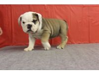Champion Bloodline Puppies Bulldog