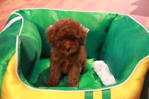 Three Poodle puppies are looking for a new home