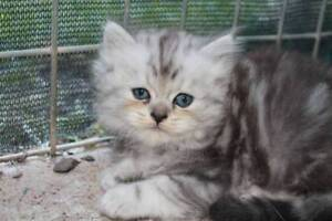 Pure Breed ADORABLE MALE Chinchilla Kittens DON'T MISS OUT AGAIN