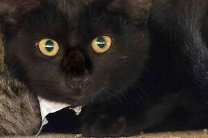 AK1348 : Onyx - CAT for ADOPTION - Vet Work Included Maddington Gosnells Area Preview