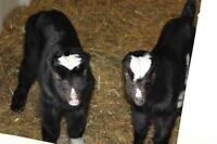 Dairy Farm Worker, relief milker