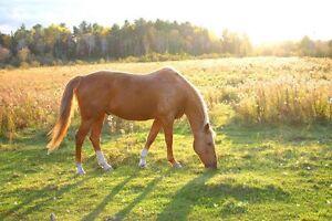 Quarter horse/Appy gelding