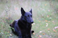 *********Purebred German Sheppard Puppies For Sale***********
