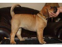 Presweiler pups (presa canario x Rottweiler)