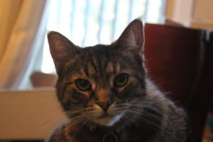 Free to good home - 3 year old tabby female cat