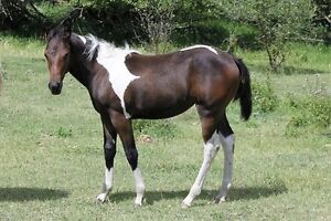 2016 APHA bay/white filly