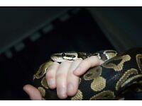 Royal Python and Huachuca king snake + setups