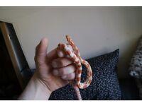 Amelanistic Corn snake inc viv & accessories