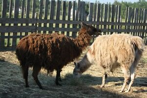 Selection of bred Female Llamas, livestock Guardians