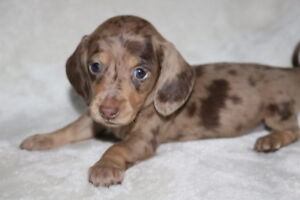 Adorable Mini Dachshund pups