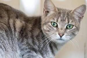 AC0457: Callie - CAT for ADOPTION - Vet Work Included Maddington Gosnells Area Preview