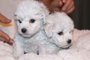 BIchon Frise Puppies! Home Raised. Males  Available! Kitchener / Waterloo Kitchener Area image 3