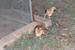 RHODE ISLAND RED CHICKS Dayboro Pine Rivers Area Preview