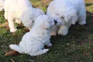 BIchon Frise Puppies! Home Raised. Males  Available! Kitchener / Waterloo Kitchener Area image 8