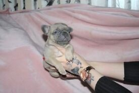 French Bulldog Puppies - Lilac Producers
