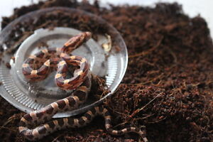 Male Corn Snake 001