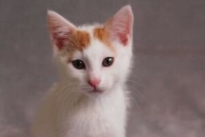 Sprinkles💖 ADOPT ME Desexed vaccinated & microchipped