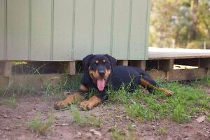 Rottweiler puppy Londonderry Penrith Area Preview