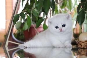 British Shorthair KITTENS for your loved one!!!