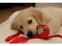 Male 9 week old KC registered Golden Retriever to a good home