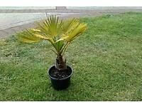 Trachycarpus wagnerianus palm tree