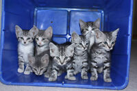 Tabby kittens --- 4 LEFT male and female available -- READY NOW!
