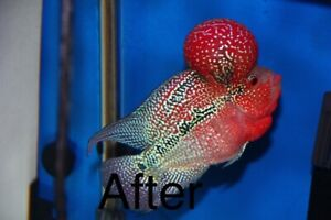 Imported Super Red Dragon Flowerhorn