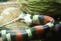Beautiful female milk snake offered to approved home.