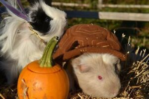 Higglety Pigglety House has guinea pigs available for adoption!