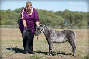 Miniature Pony - Silver Dapple Taffy Pinto Filly Two Wells Mallala Area Preview