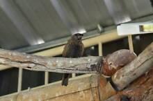 Burk,s male x 2 + other birds Morphett Vale Morphett Vale Area Preview