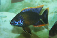 F1-Aulonocara African cichlid Red Top Lwanda group