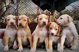 English Pointer x Egyptian Pharaoh Hound Puppies (Egyptian Pointer)