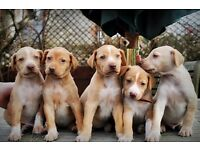 English Pointer x Egyptian Pharaoh Hound Puppies (Egyptian Pointer)